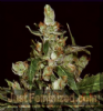 CBD Auto Widow Feminised 3 Ganja Seeds
